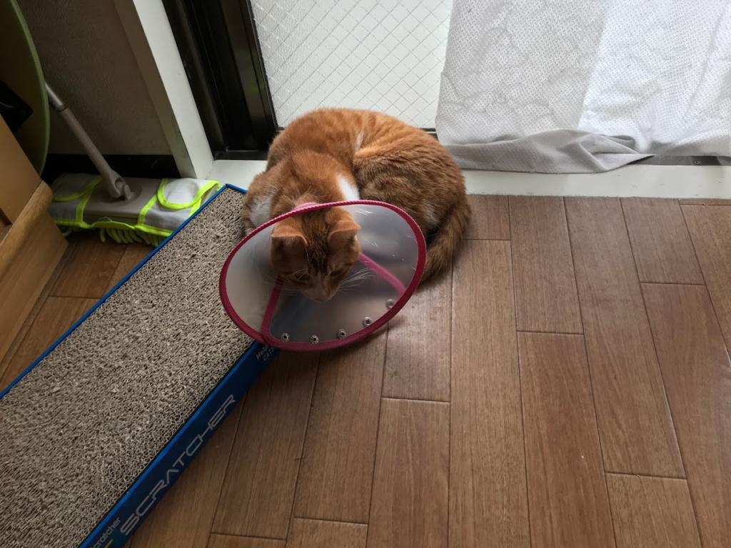 猫が生後7ヶ月になり 去勢手術